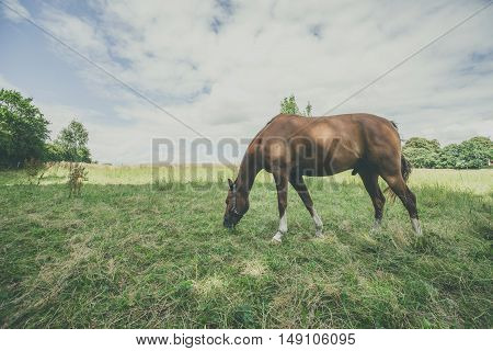 Brown Stallion Eating Grass On A Green Meadow