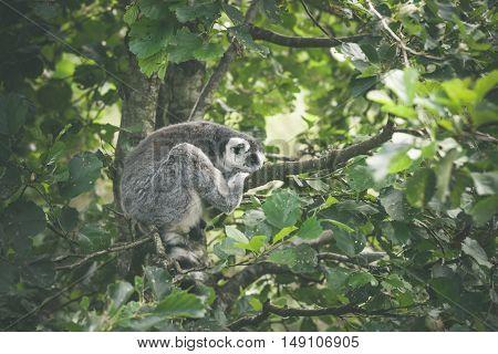 Lemur Catta Monkey Sleeping