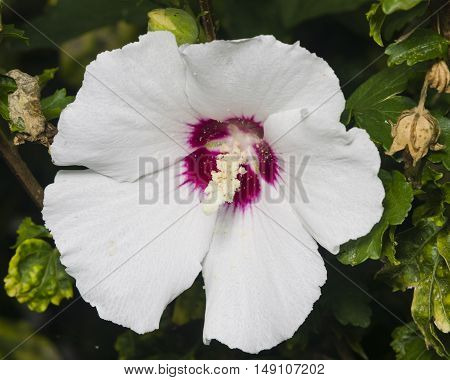 Rose Mallow or Syrian ketmia Hibiscus syriacus flower close-up with bokeh background selective focus shallow DOF