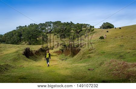 Woman walking on hiking path of Fanal plateau. Virgin forest, hills and cows in a fairy tale landscape. Fanal, Madeira island, Portugal.