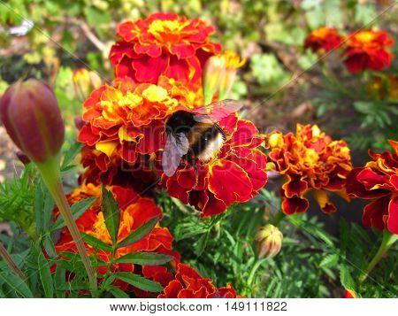 Summer Red Flower Honey Insect Honeybee Bumblebee Bombus