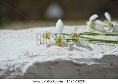 Many  snowdrops are located on a white wall in the sunlight