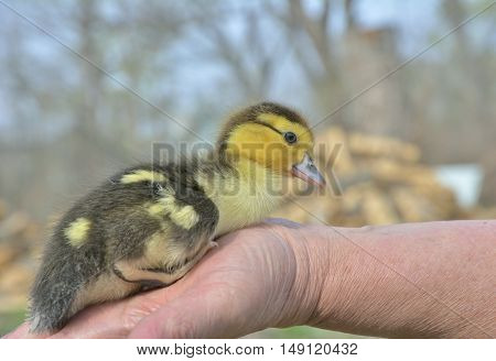 A close up of the very small duckling on hands.
