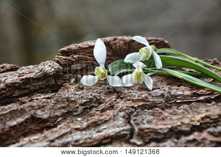 Three  snowdrops perched on tree bark in nature