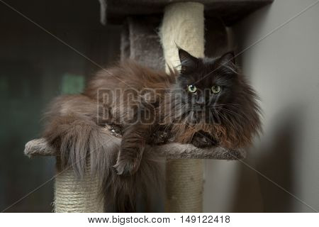 Maine Coon cat lying in cat house