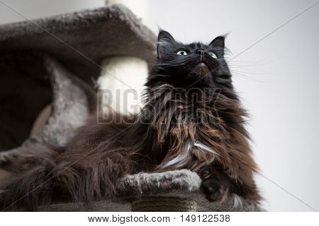 Brown Maine Coon cat lying in cat house