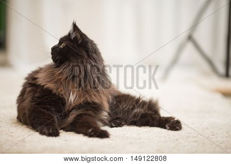 Brown Maine Coon cat lying on the floor.