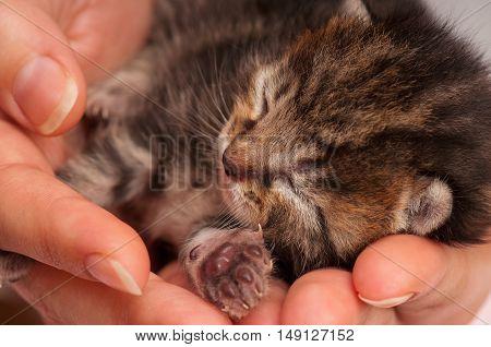 Cute newborn kitten asleep on the human's hands close-up