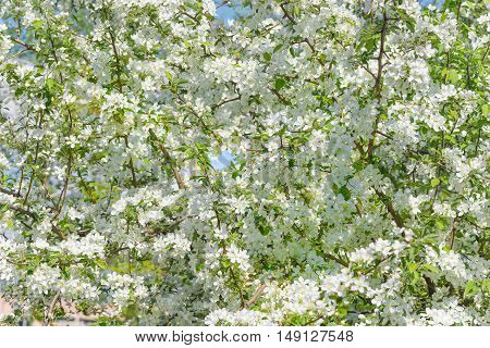 Natural background of a variety of flowers blooming apple trees in the spring garden