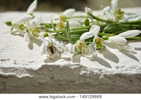 Some snowdrops on white wall with insect in bloom