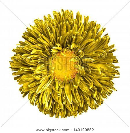 Yellow Aster Flower With Yellow Heart Macro Photography Isolated On White