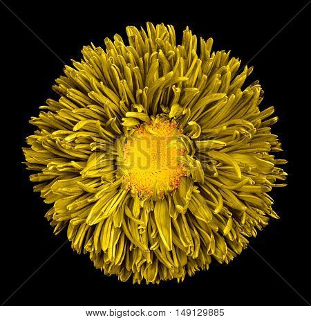 Yellow Aster Flower With Yellow Heart Macro Photography Isolated On Black