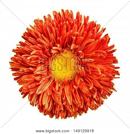 Orange Aster Flower With Yellow Heart Macro Photography Isolated On White