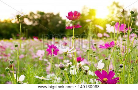 Cosmos flowers blooming in the garden for background
