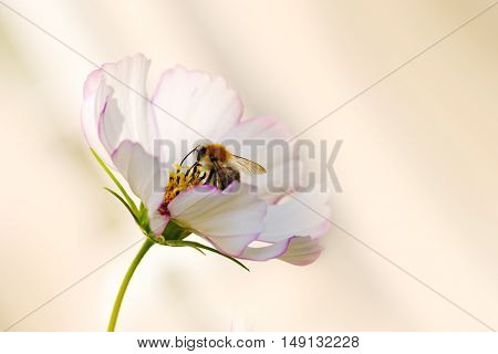 White cosmea flower with a bee on it in summer season .Bee on Cosmea flower isolated.Bee working on white cosmos flower.