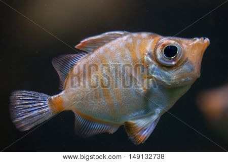 Boarfish (Capros aper). Marine fish.
