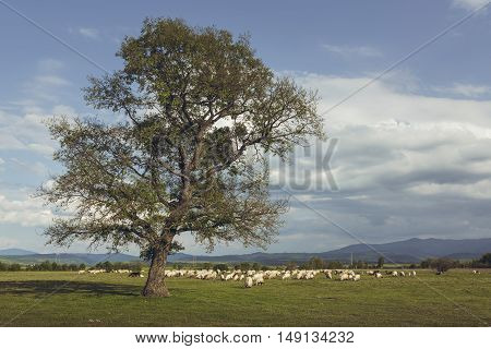 Herd of sheep grazing on a vast green pasture near a tall deciduous solitary tree in Brasov county Transylvania region Romania.