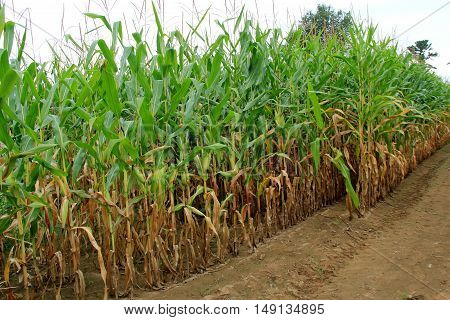Field of cornstalks with ears ready for picking and taking to local farmers market.