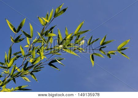 Bamboo Branch -- with transparent green leaves against a blue sky. Green bright bamboo at blue sky background.
