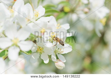 Bee melliferous collects nectar from a white flowers of apple tree in a spring garden close-up