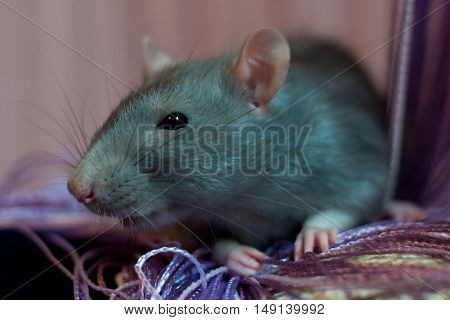 blue rat sits near the of thread curtain indoors