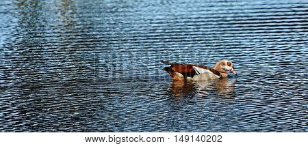 Close up of wild Egyptian goose on a pond
