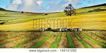Landscape with Winter wine field and Farm houses