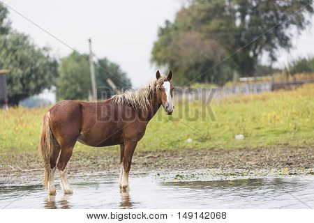 Beautiful brown horse stands in the water.
