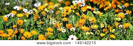 Close up of meadow with orange and white African daisies