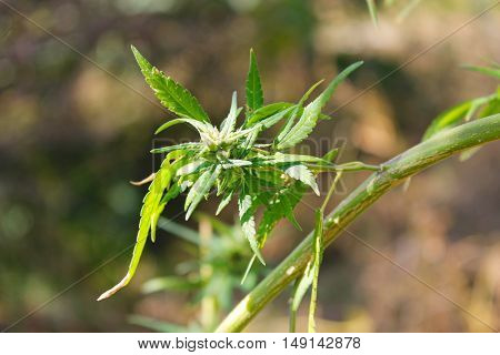 Green leaves of the cannabis (marijuana) plant