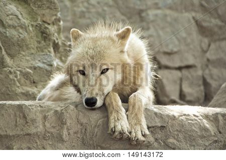 Portrait of beautiful white wolf in a natural surrounding