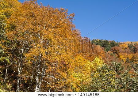 Autumn color beech tree and other trees under blue sky in Nagano