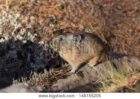 northern pika sits on a rock closeup