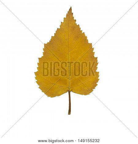 yellow autumn birch leaf isolated on white close-up