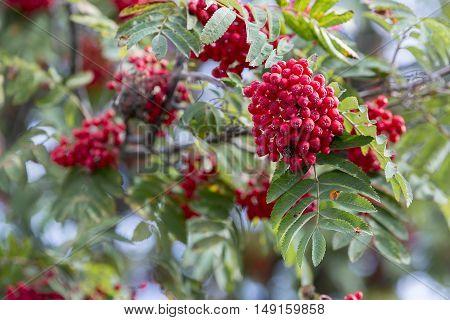 Rowan Fruit in Rowan Tree Close up.