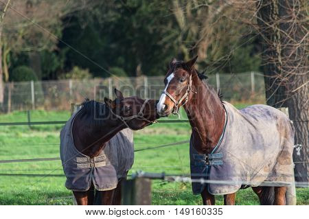 Two brown horses with blanket and Bridle equestrian on a pasture.