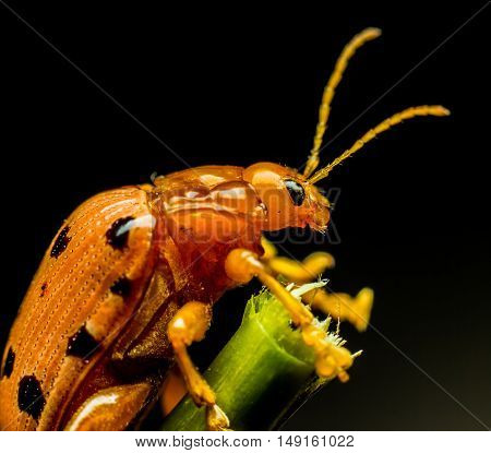 The Beetle on branch on gray background