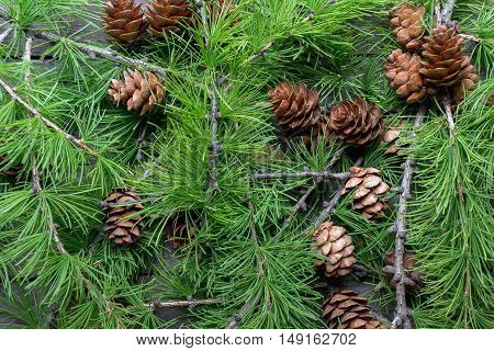 Christmas background. Fresh larch twigs with dry cones. Top view