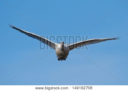 Mute swan in flight with blue skies in the background