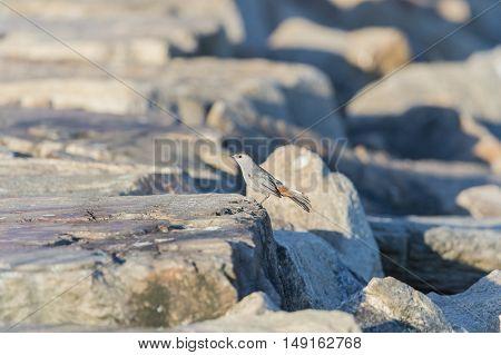 Gray Catbird momentarily perches on dike boulder