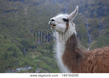 Llama looking forward with a view of a fjord