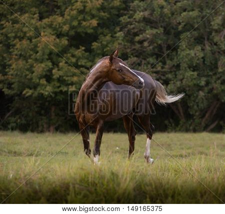 Red Akhal-Teke horse stays on the trees background at the summer
