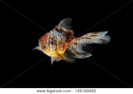 tricolor gold fish, isolate on black background