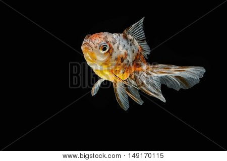 tricolor gold fish isolate on black background
