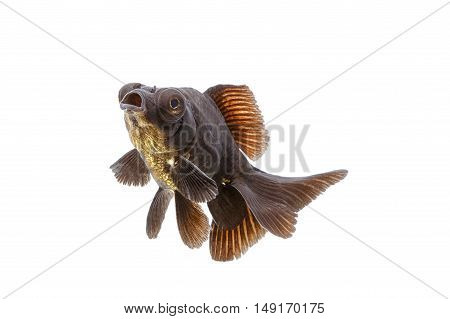 Black goldfish, isolate on white background