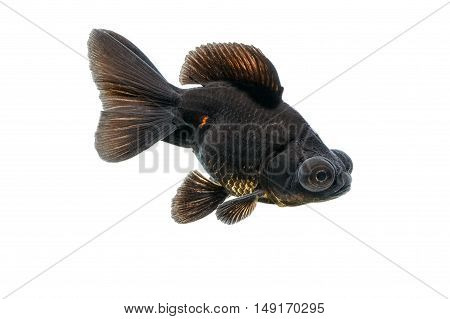 Black goldfish , isolate on white background
