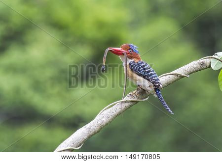 Male of Banded Kingfisher the beautiful blue and red lips bird perching on the branch A snake in its mouth