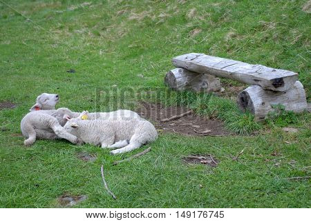Three lambs resting by a wood bench