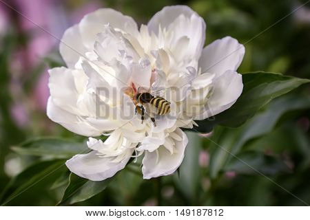 On the beautiful flower of the white peony bee in the center of the flower collecting nectar.
