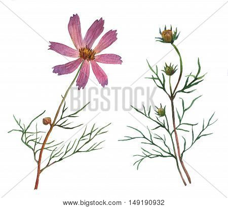 Pink Cosmos bipinnatus, commonly called the garden cosmos or Mexican aster. Watercolor hand painting illustration on isolate white background